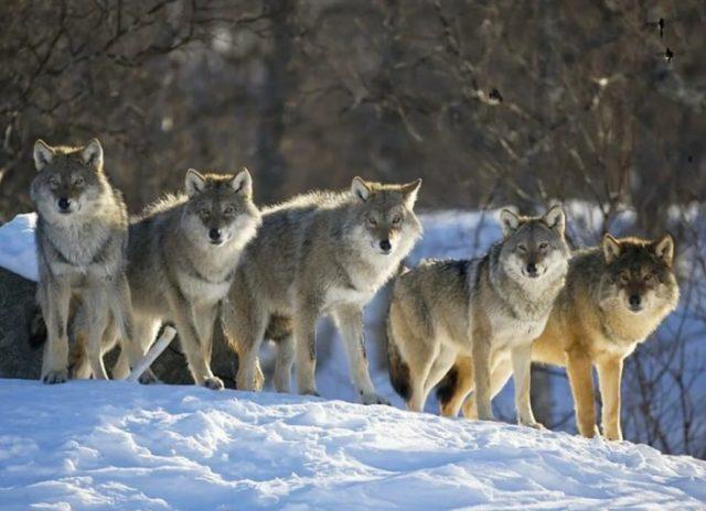Образ жизни волков
