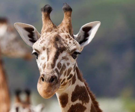 морда жирафов