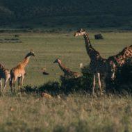 Жираф: описание, среда обитания, образ жизни, поведение