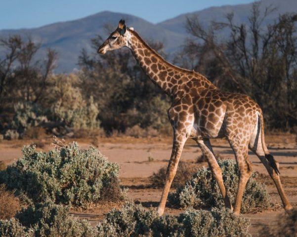 Как выглядит жираф