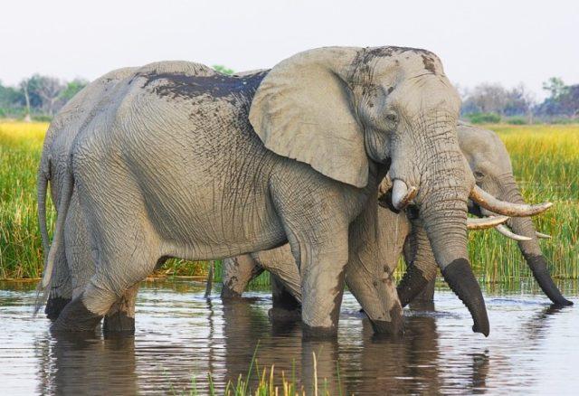 Африканский слон саванны