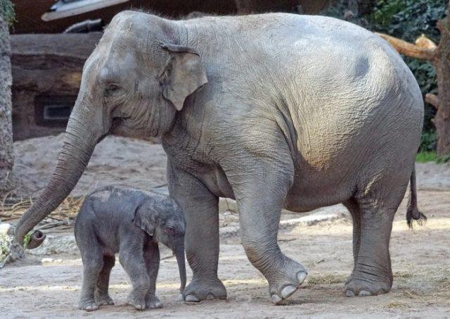 Азиатский слон внешние особенности