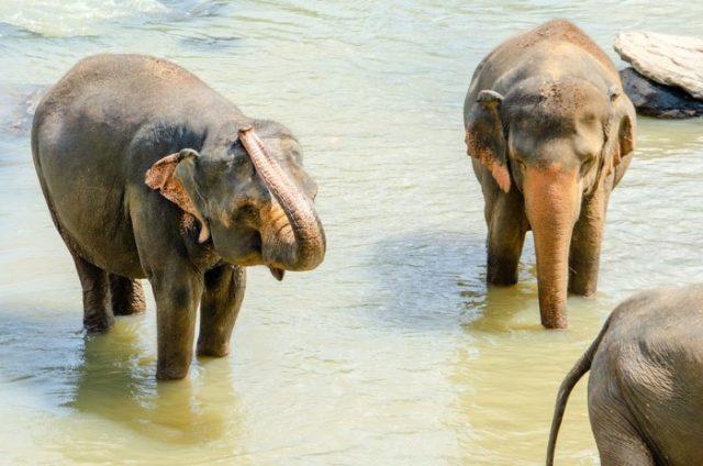 Шри-ланкийский слон
