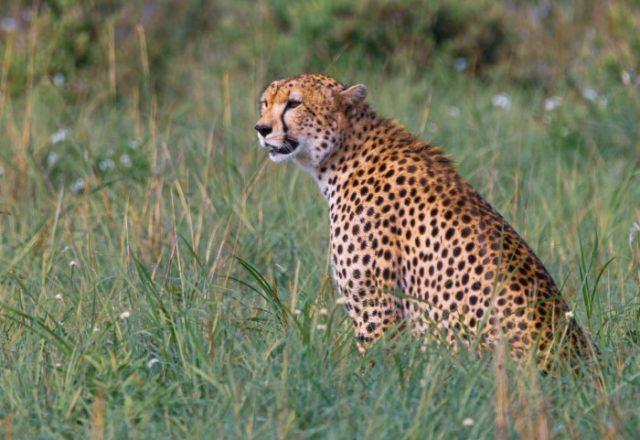 Самое быстрое наземное животное - гепард