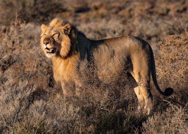 Самые быстрые животные. Лев