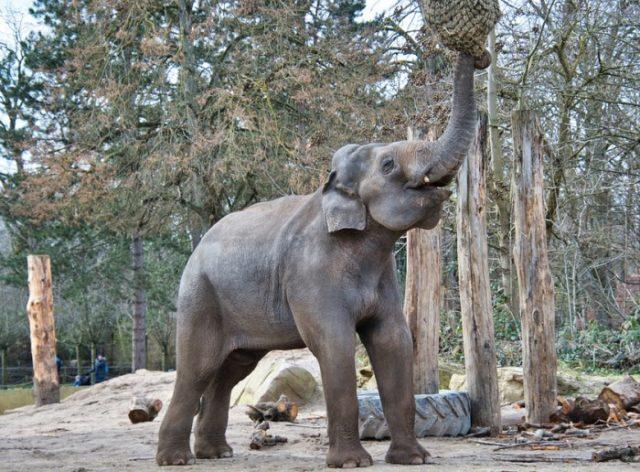 Виды слонов - азиатский слон