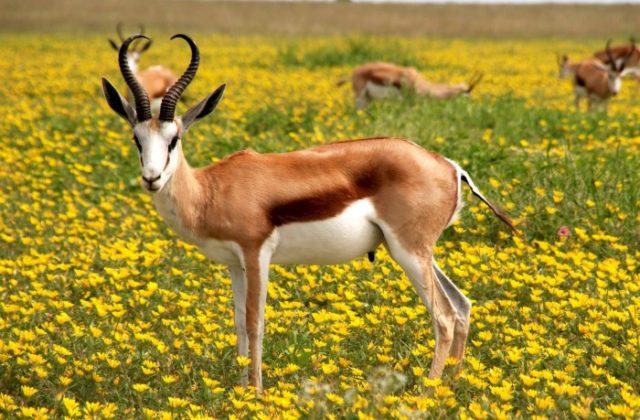 Вилорогая антилопа
