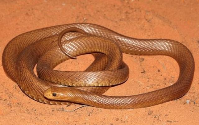 Тайпан - очень опасная австралийская змея