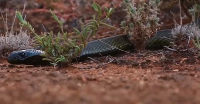 Очень опасная змея прибрежный тайпан
