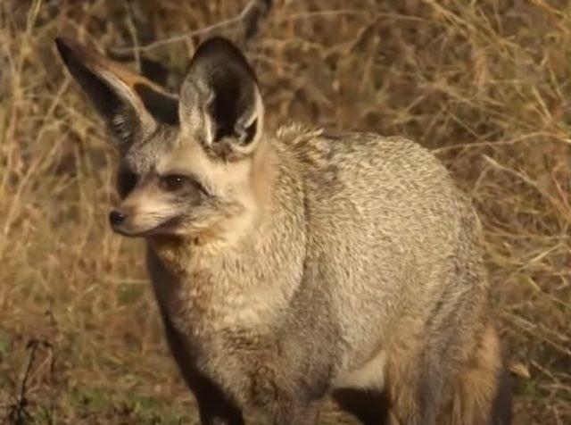 Среда обитания большеухой лисицы