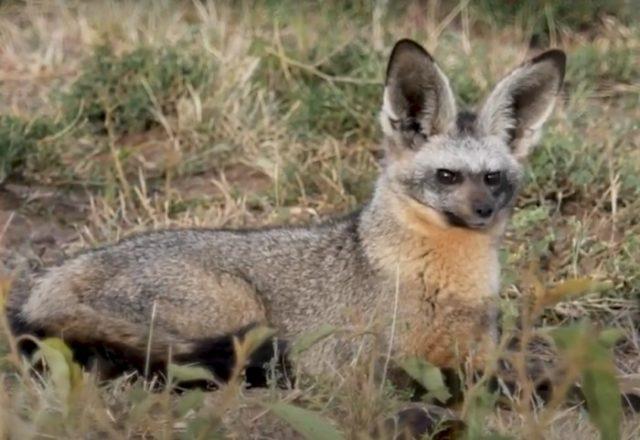 Особенности внешнего вида большеухой лисы