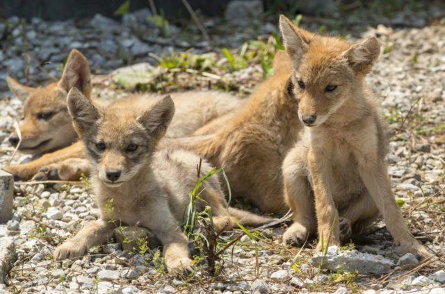 Щенки койота греются на солнце