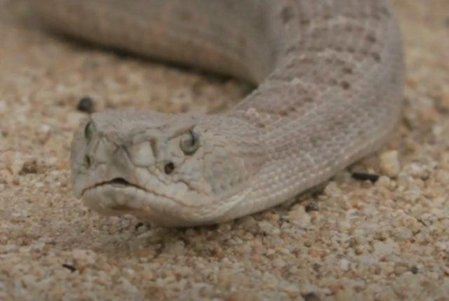 Особенности гремучих змей