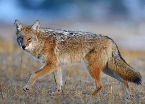 Койот (луговой волк) прогуливается