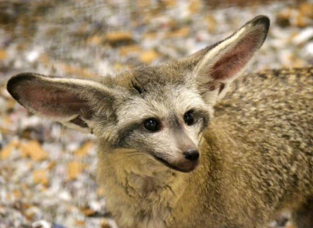 Мордочка большеухой лисицы