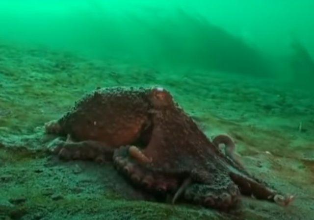 Гигантский осьминог на морском дне