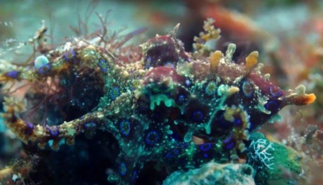 Красивый и ядовитый синекольчатый осьминог