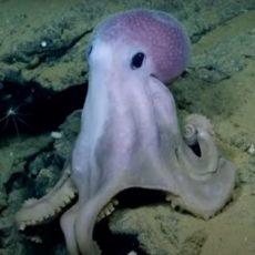 Виды осьминогов