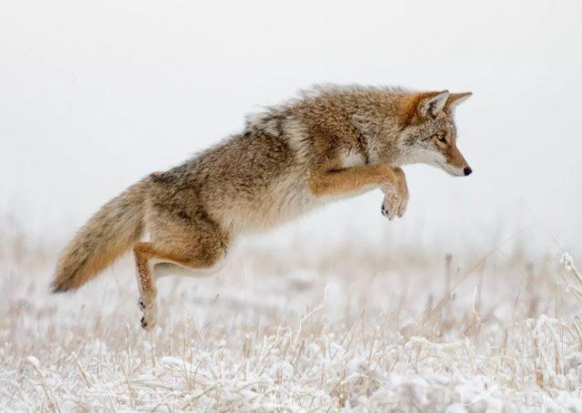 Луговой волк в прыжке