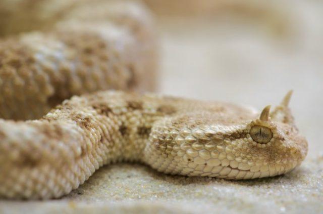 Рогатая гремучая змея