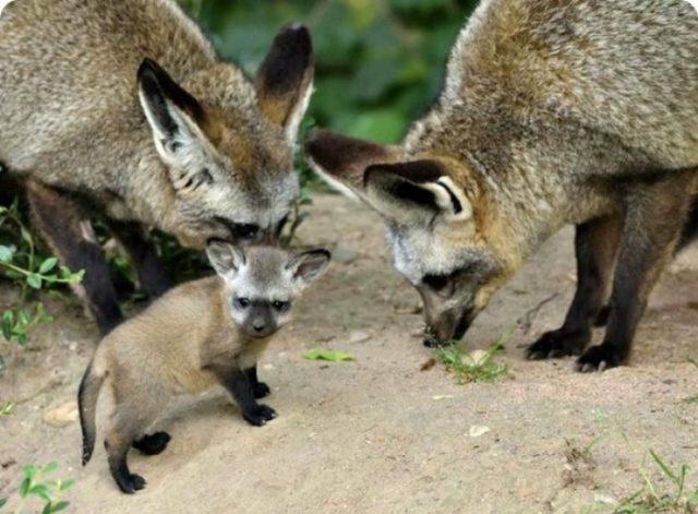 Семья большеухихи лисиц