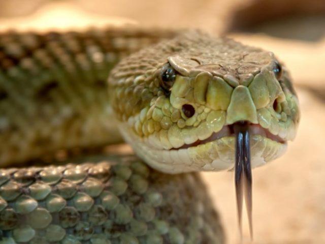 Ареал гремучих змей