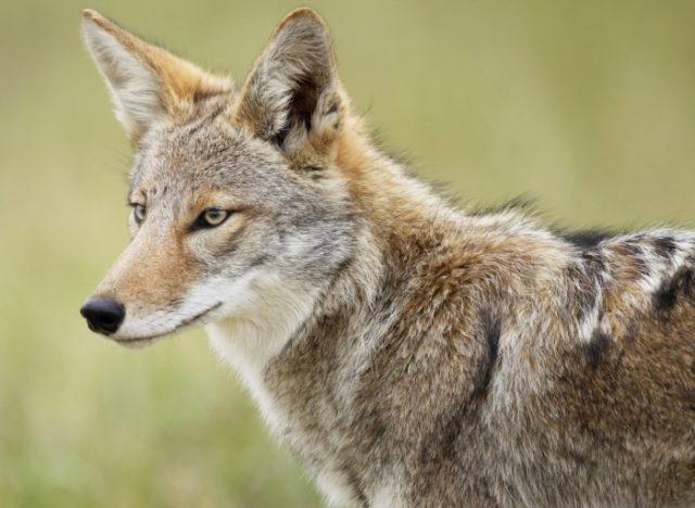 Особенности внешнего вида койота